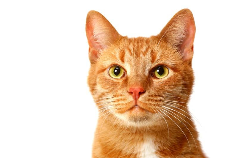Image of Improve your knowledge with our Feline Studies course
